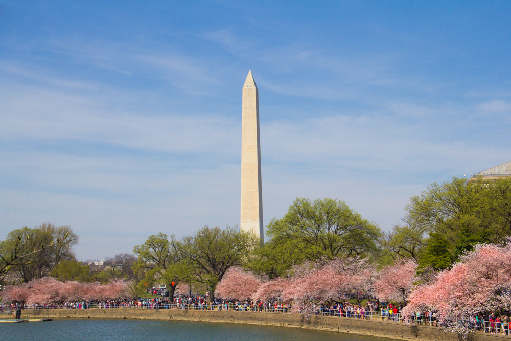 Cherry Blossoms in Washington DC, March 2016